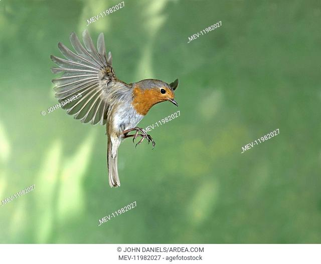 BIRD. Robin in flight