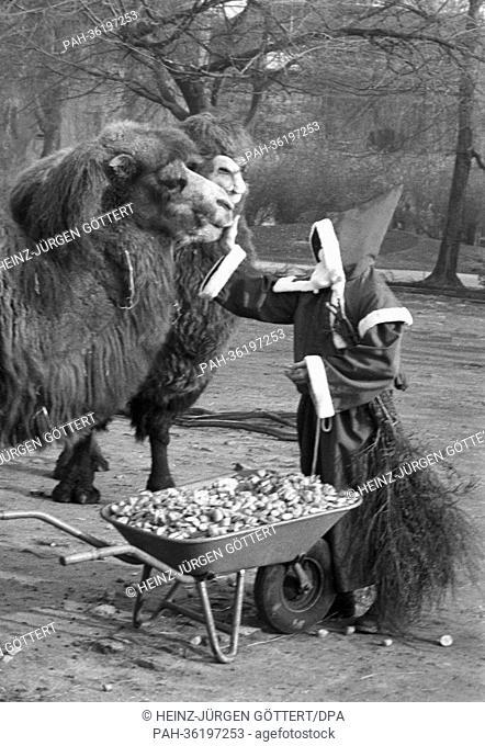 A man dressed as Santa Claus is petting a camel at Frankfurt Zoo on 5 December 1963. | usage worldwide. - Frankfurt/Hessen/Germany