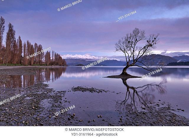 The iconic Wanaka Tree on Lake Wanaka at sunrise. Otago New Zealand