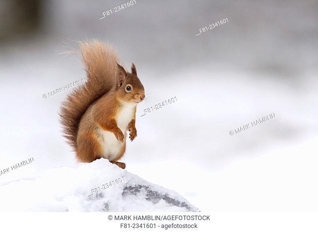Red Squirrel (Sciurus vulgaris) in winter coat stood on snow-covered stump