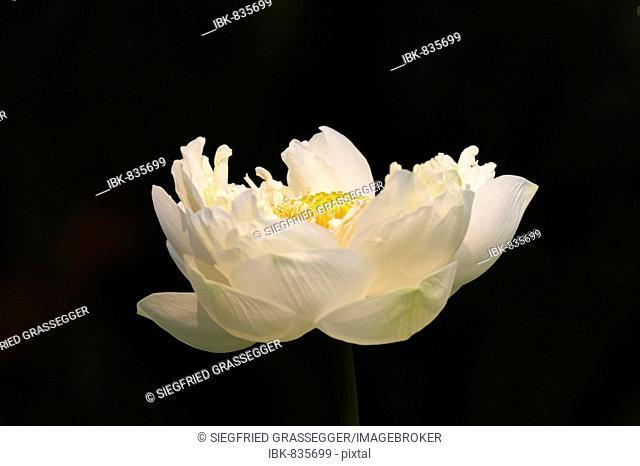 Tiger Lotus or Egyptian White Waterlily (Nymphaea lotus)