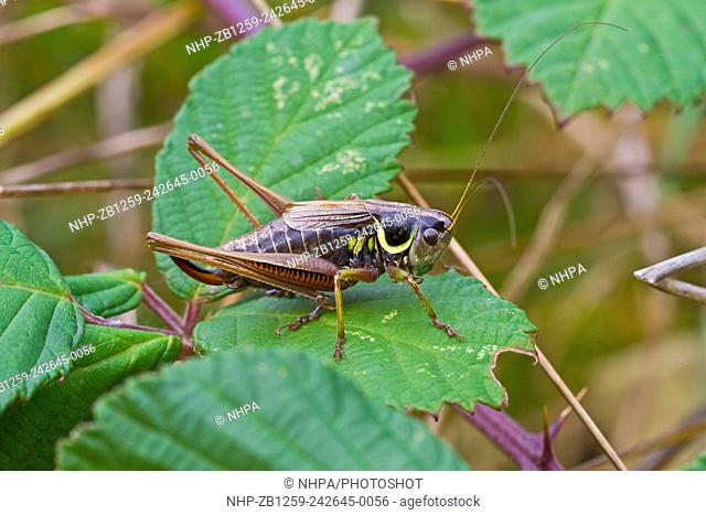 Male Roesel's Bush-cricket (Metrioptera roeselii) On bramble Lewisham, London October 2012