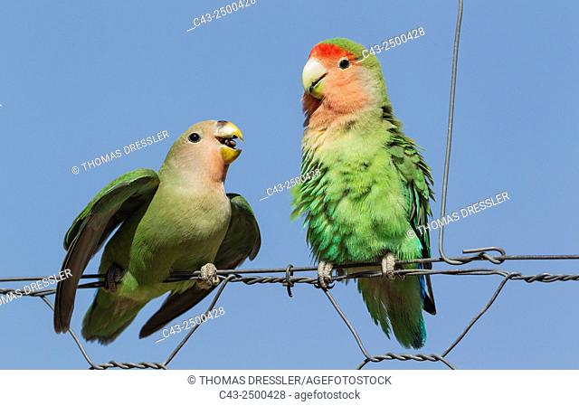 Rosy-faced Lovebird (Agapornis roseicollis) - Juvenile, on the left, claiming food from the adult. At a wire fence of a farm. South-east Namibia