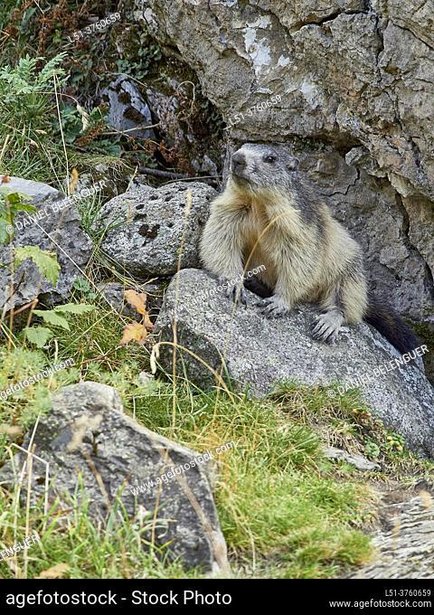 marmot (marmota marmota) in Llanos del Hospital, Pyrenees, Benasque, Aragón, Spain