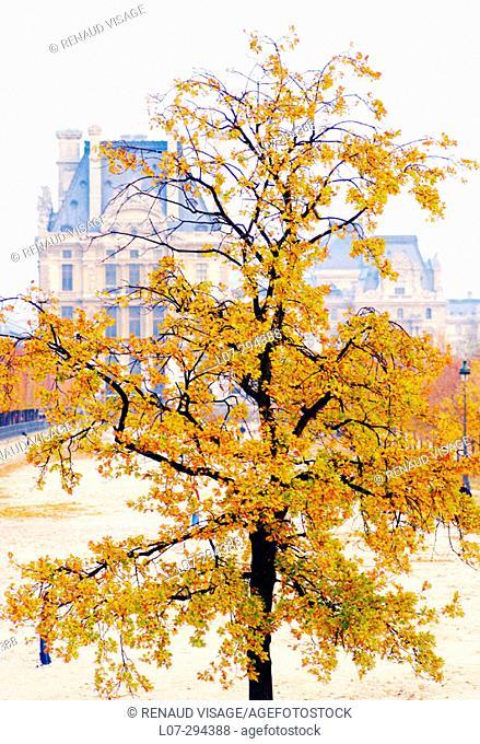 Lone tree in fall in Tuileries gardens. Paris. France