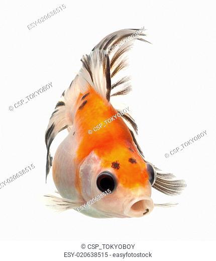 fancy goldfish isolated on white