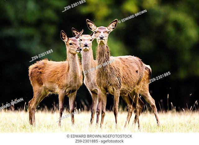 Red deer (Cervus elaphus) hinds, Windsor Great Park, England, UK
