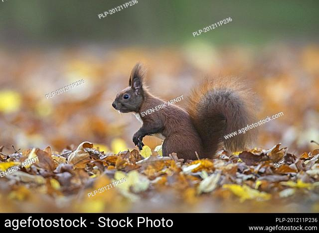 Cute Eurasian red squirrel (Sciurus vulgaris) foraging on the ground in leaf litter on the forest floor in autumn woodland