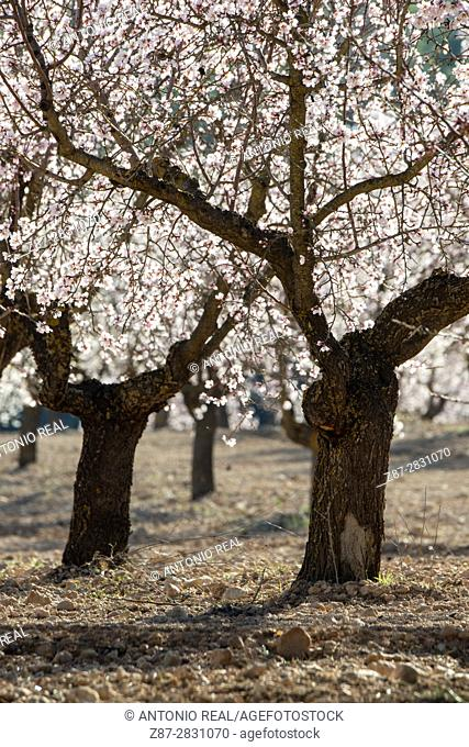 Almond trees in bloom, Almansa, Albacete province, Spain