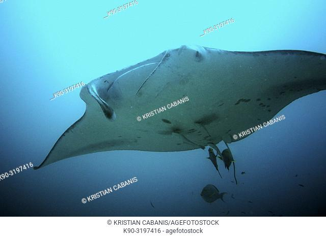 Oceanic Manta Ray (Manta briostris) with cleaner fishes, Indian Ocean, Maledives, South Asia