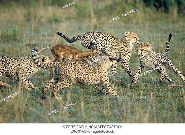 Cheetah (Acinonix jubatus) chasing Impala (Aepyceros melampus). Masai Mara. Kenya