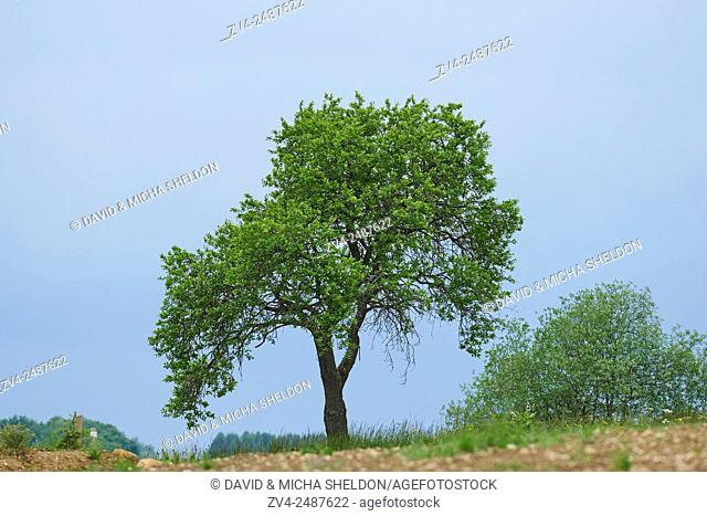 Landscape of a zwetschge (Prunus domestica subsp. domestica) tree in early summer