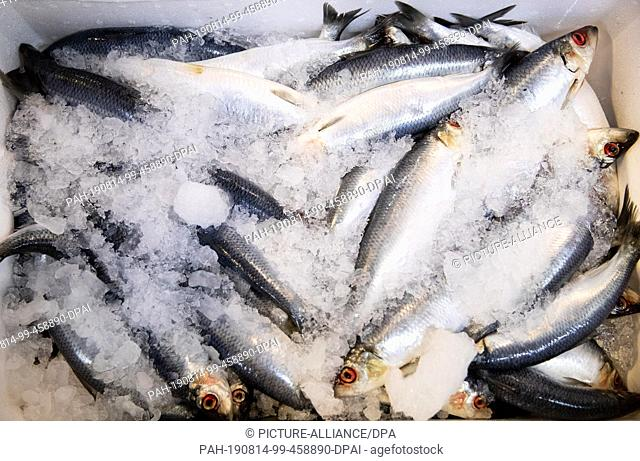 14 August 2019, Hamburg: Fresh herring is on sale at a wholesaler in the Hamburg Altona fish market. On the annual-Pk of the Fish Information Centre FIZ on 14