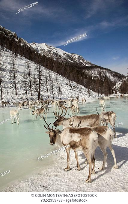 Tsataan reindeer on frozen lake after spending winter in Hunkher mountains, northern Mongolia