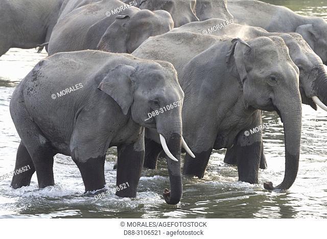 Asia, India, Uttarakhand, Jim Corbett National Park, Asian or Asiatic elephant (Elephas maximus), Group crossing and drinking the river Ramganga