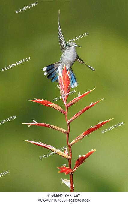 Crowned Woodnymph (Thalurania columbica) flying and feeding at a flower in the mountains of Colombia, South America
