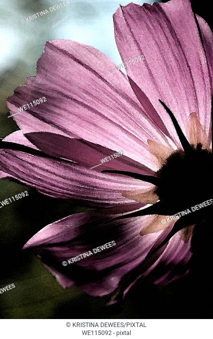 The petals of a pink Cosmo flower with varied effects