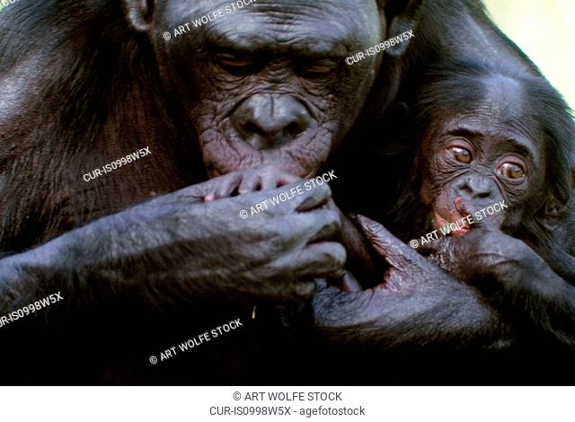 Bonobo or pygmy chimpanzee with infant