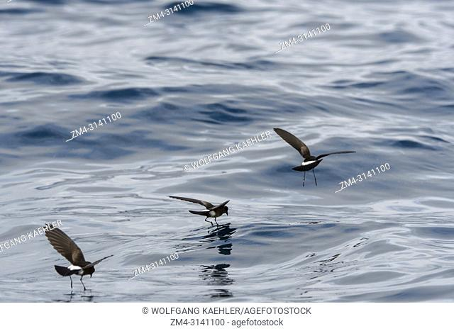 Elliots storm petrel (Oceanites gracilis), also known as the white-vented storm petrel, feeding on the surface of the sea at Santa Fe Island (Barrington Island)...