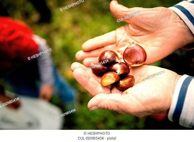 Woman's hands holding chestnuts in vineyard