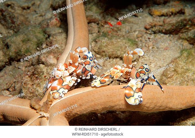 Two Harlequin shrimps feeding a starfish, Hymenoceara elegans, Indian Ocean Ari Atol, Maldives Island