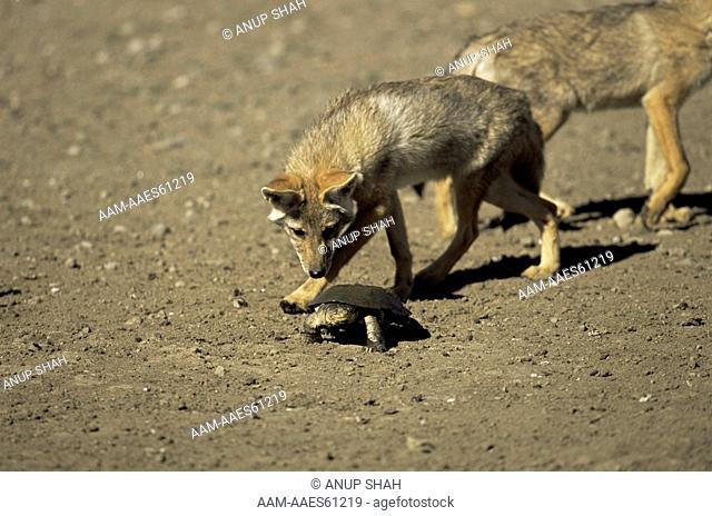 Golden Jackal (Canis aureus) investigating Terrapin, Ngorongoro Conservation Area, Tanzania