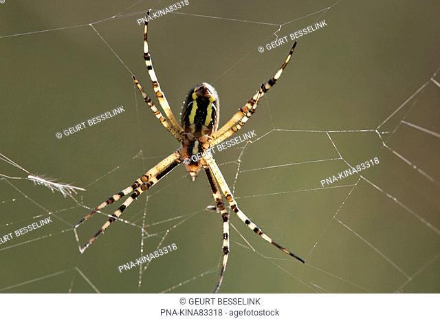 wasp spider Argiope bruennichi - Koninklijke houtvesterij het Loo, Motketel, Veluwe, Guelders, The Netherlands, Holland, Europe