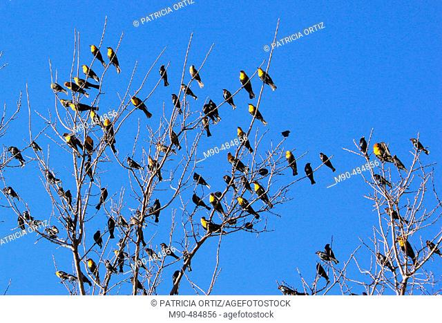 Black-backed Oriole (Icterus abeillei). Chihuahua, Mexico
