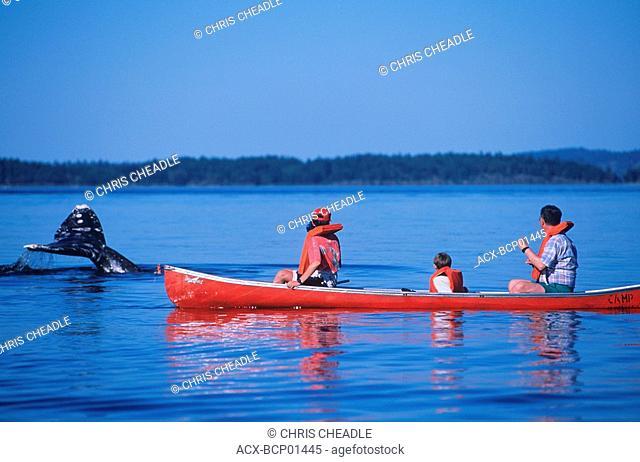 Canoe following Grey whale in gulf islands, British Columbia, Canada