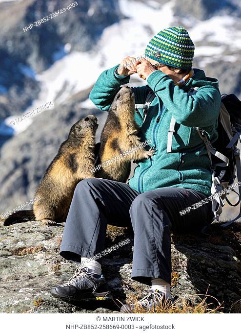 Alpine Marmot (Marmota marmota) in the NP Hohe Tauern near Mount Grossglockner. Tourist is feeding marmots with carrot. Europe, Central Europe, Austria
