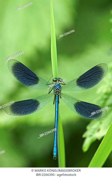 Banded Demoiselle (Calopteryx splendens), male, Bad Hersfeld, Hesse, Germany, Europe