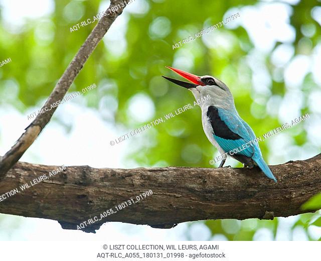 Woodland Kingfisher, Halcyon senegalensis