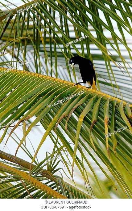 Bird, Stink, Lençois, Atins, Maranhão, Brazil