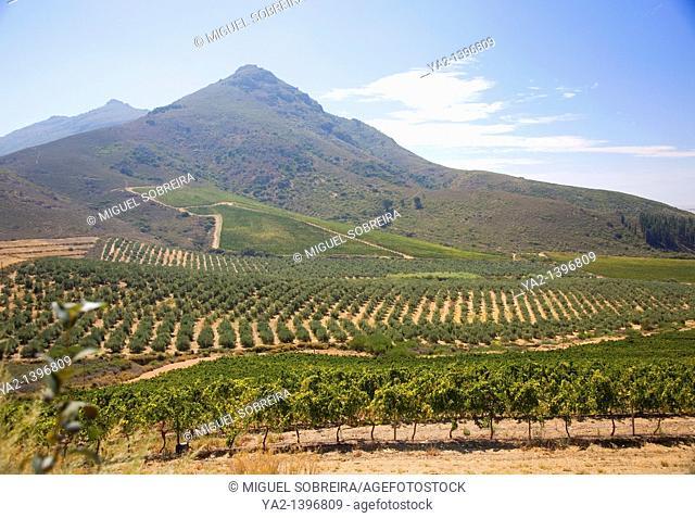 Vineyards at Riebeek Kasteel - South African West Coast