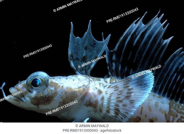 Sailfin plunderfish, Histiodraco velifer
