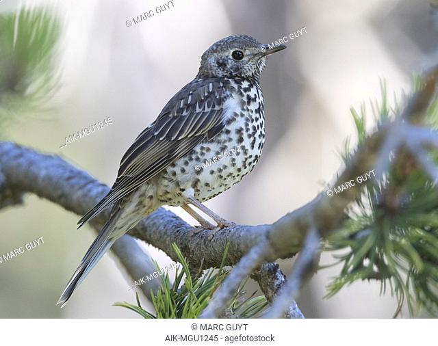 Juvenile Mistle Thrush (Turdus viscivorus) perched in a pine tree during a summer day in Spain