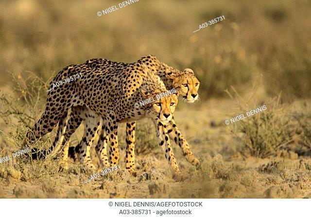 Cheetah (Acinonyx jubatus) hunting. Kgalagadi Transfrontier Park. Kalahari, South Africa