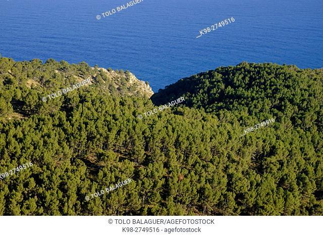bosque de pinos, Cap de Menorca, bahia de Alcudia, Majorca, Balearic Islands, Spain