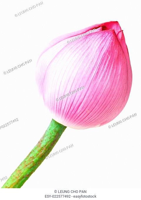Single lotus buds