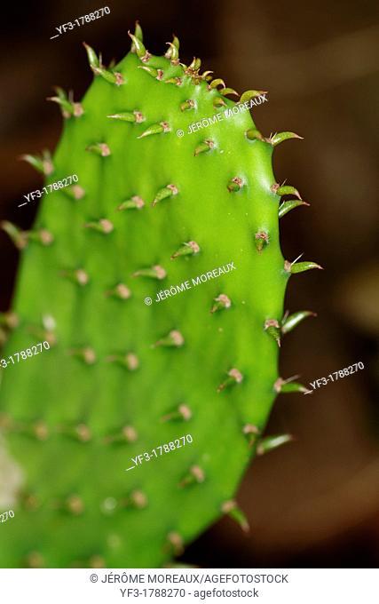 Prickly Pear Opuntia ficus-indica