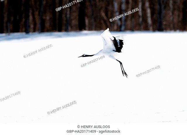 Japanese crane, Red-crowned crane (Grus japonensis) flying, Japan