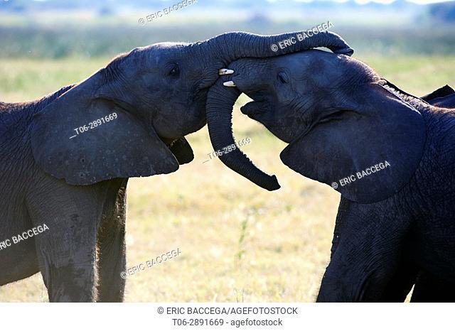 Two African elephant juveniles sparring (Loxodonta africana), Duba Plains, Okavango Delta, Botswana, Southern Africa