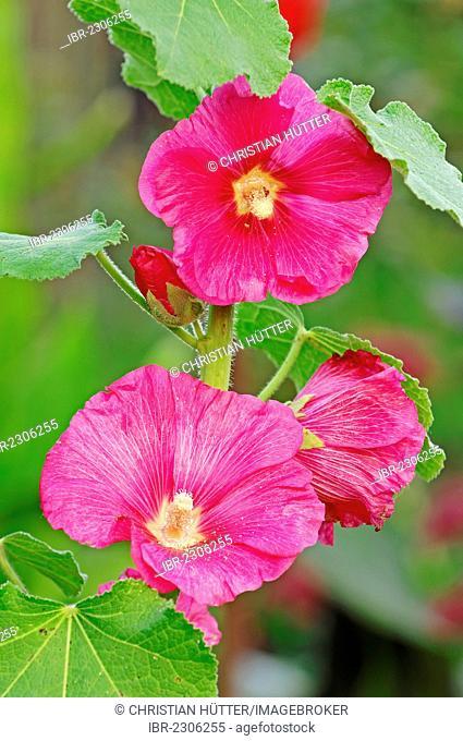 Hollyhock (Alcea rosea, Althaea rosea, Althaea chinensis), North Rhine-Westphalia, Germany, Europe