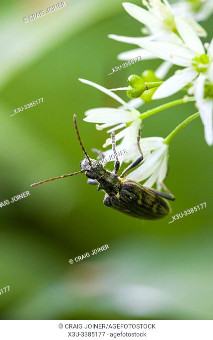 A Two-banded Longhorn Beetle (Rhagium bifasciatum) on a Ransom Flower in Long Wood in the Mendip Hills, Somerset, England