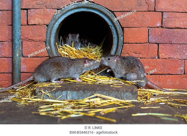 Brown rat, Common brown rat, Norway rat, Common rat (Rattus norvegicus), den in an outflow pipe, Germany
