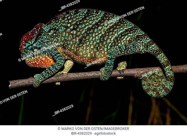 Pregnant female two-horned chameleon (Furcifer bifidus), Andasibe-Mantadia National Park, Alaotra-Mangoro, Madagascar
