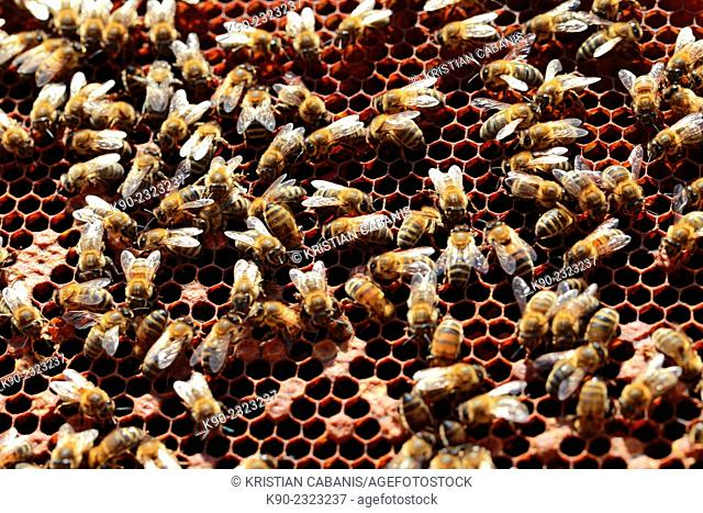 Bees in their beehive seen from above, Dolceacqua, Italy, Europe