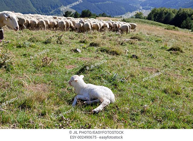 sheep and calf The Roncal Valley Navarre Spain