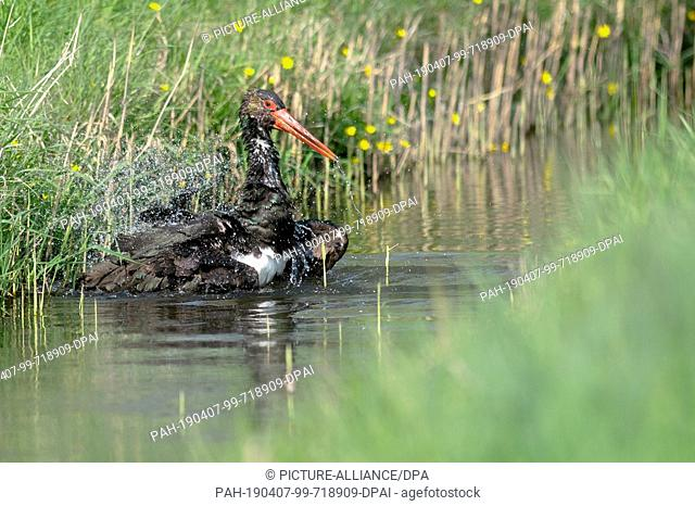 "07 April 2019, Saxony-Anhalt, Loburg: Black stork """"Schorsch"""" sits in a creek and cleans his plumage. The animal had been released from the stork farm in..."
