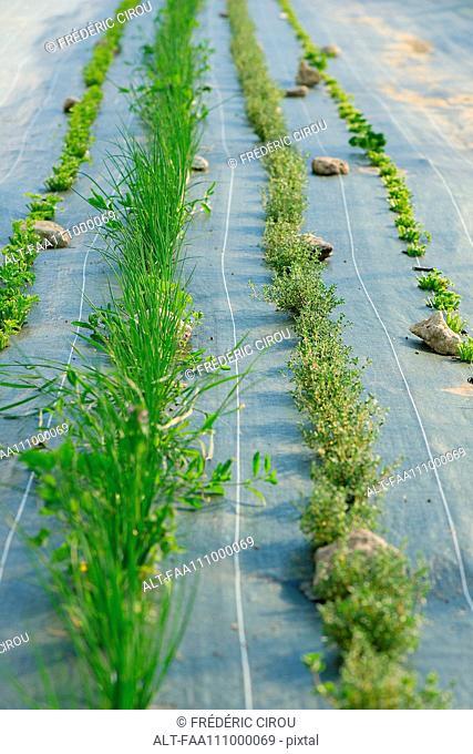 Herbs growing on farm